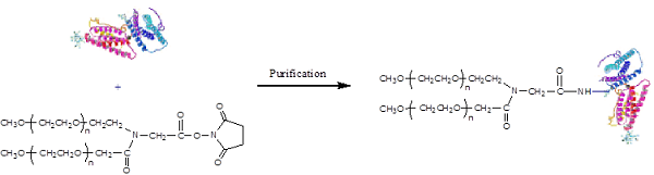 Y-NHS-40k PEGylation