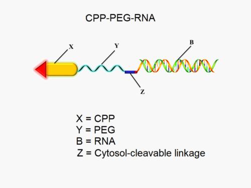 siRNA Drug Delivery PEG